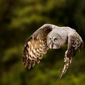 Here's one I took a while ago and have only just got round to editing.  This is the world's largest species of owl, and by far my favou...