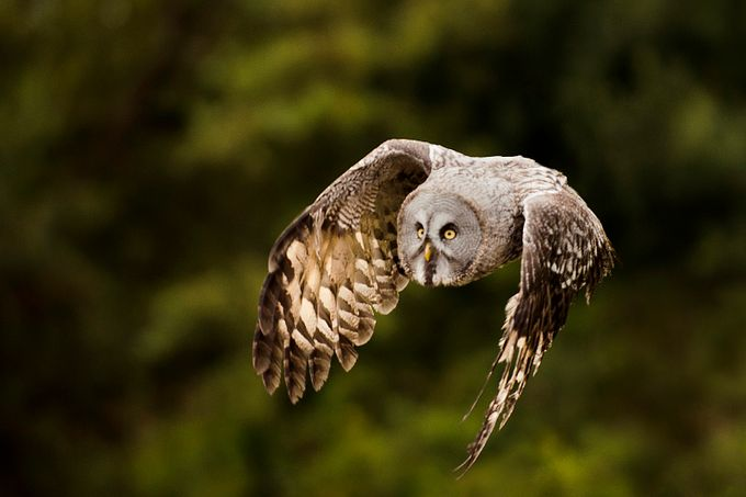 Great grey owl by MattSelbyPhotography - Only Owls Photo Contest