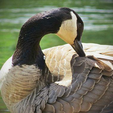 Primping Goose