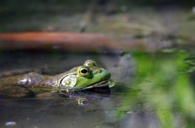 Colorado River Toad - Bufo alvarius