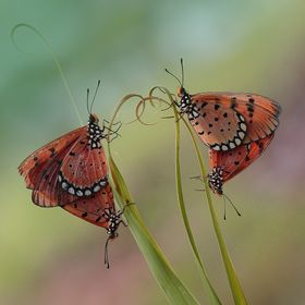 Butterflies mating is a normal thing that is often found in the bushes during the rainy season, there is even coming out of the cocoon.