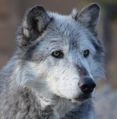 Soulful Wolf