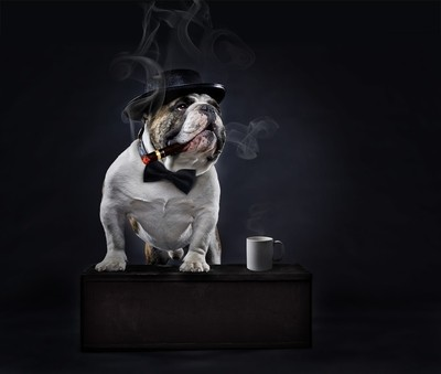 Gangster bulldog