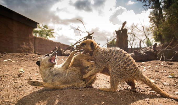 Meerkat fight by DPMPhotography