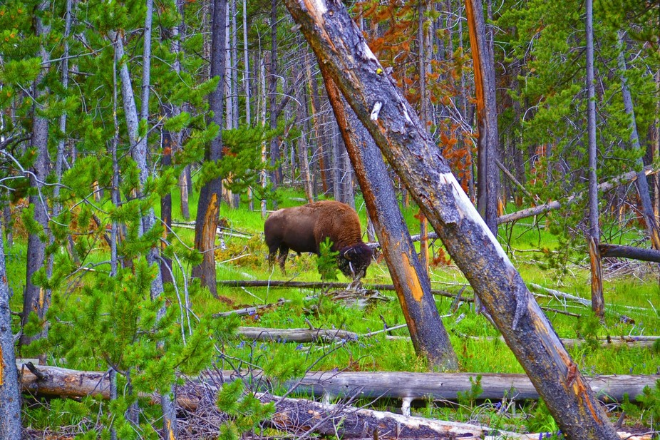 Looking into the forests of Yellowstone National Park for the great bison that roam.