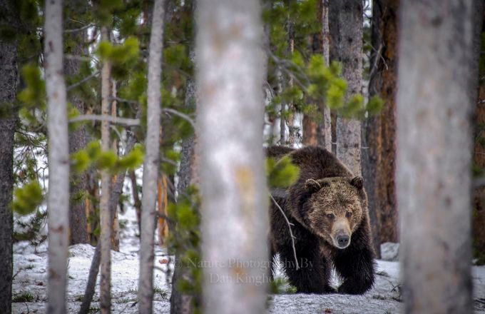 Pissmypants Brown Bear-2 by Dan_Kinghorn - Bears Photo Contest