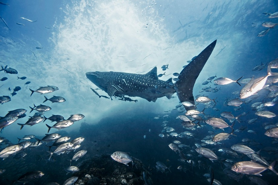 The whaleshark is considered by scuba divers to be one of the most revered animals in the underwa...