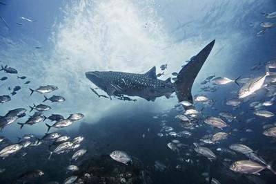 Whale Shark and its Entourage