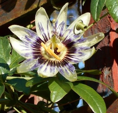 The last passion flower