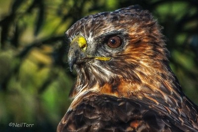 Tempest, a red tailed hawk