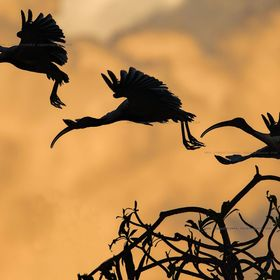 Ibis taking off early with the morning sun painting the background clouds orange. Composite image.