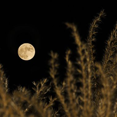 The full moon rising over a clump of fountain grass.