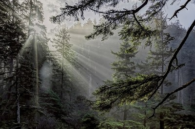 Rays Through a Northern Pacific Rain Forest
