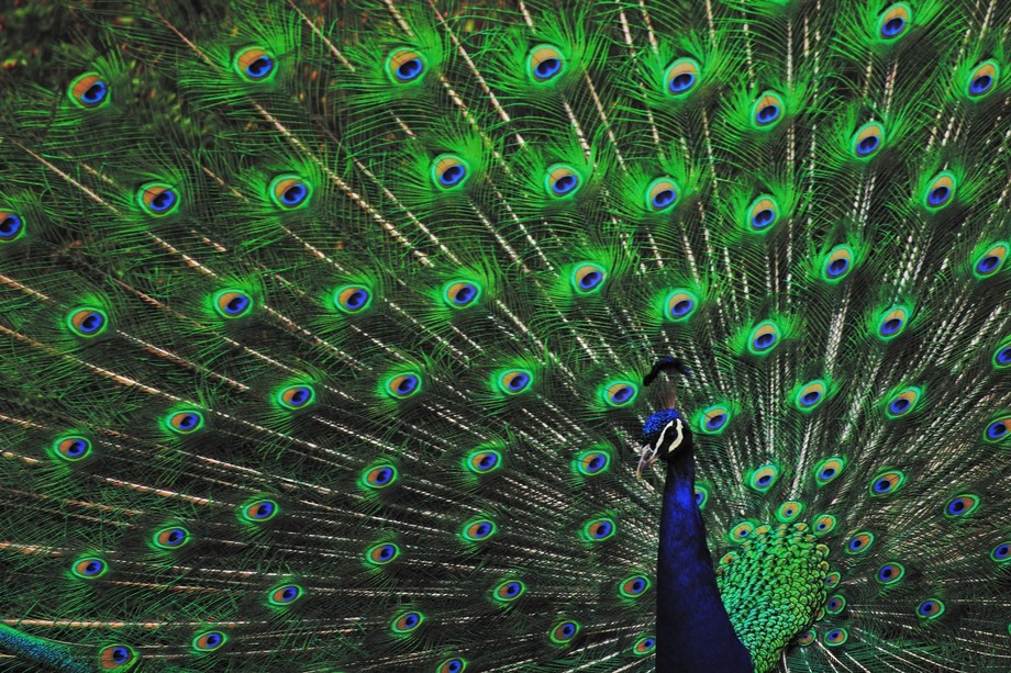A beautiful picture of a peacock, would almost seem as if it was posing for a picture.