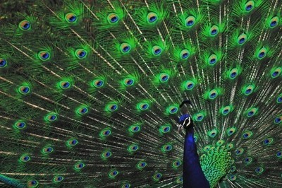 Posing Peacock_01