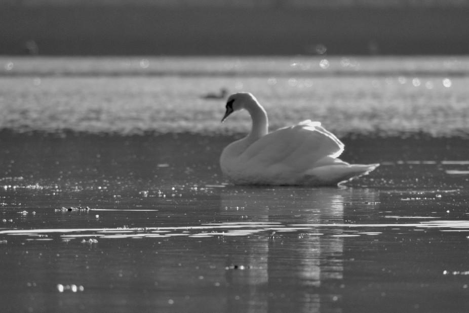 B/W swan 2