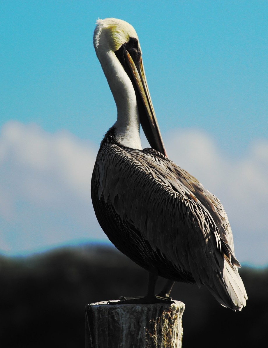 I'm very happy with this shot, I spent a good day or two trying to get a picture that satisfied me of a pelican, this was my favorite.
