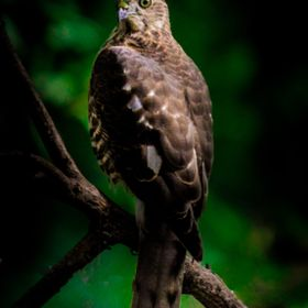 Bonelli's eagles are found in Southern Europe, Africa, India, and Indonesia. They are usually resident breeders in most places. In the Indian S...