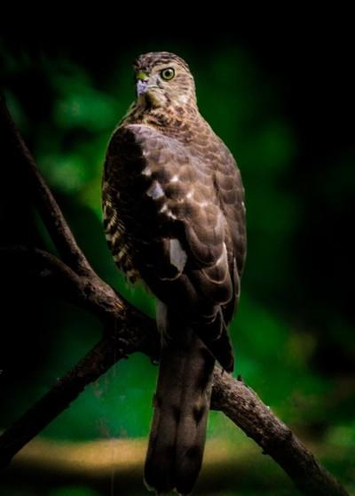 The Bonelli's Eagle....