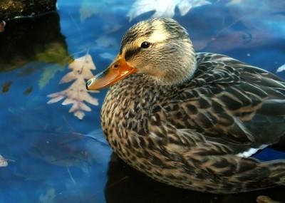 Mallard Duck and Autumn Leaves