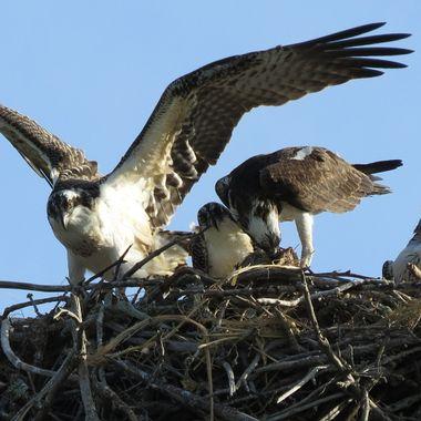 Sanibel Osprey