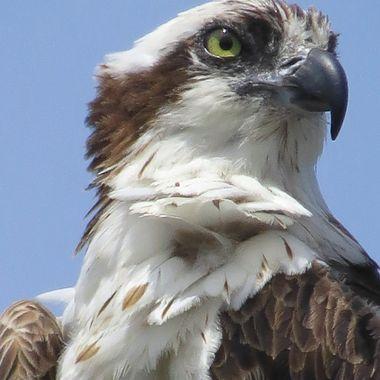 Sanibel Osprey Close up