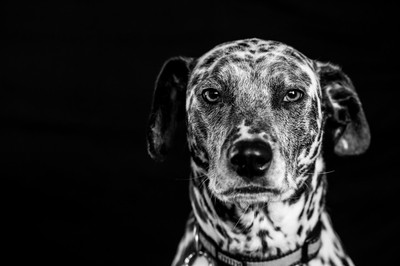 Dalmatian on Black BW