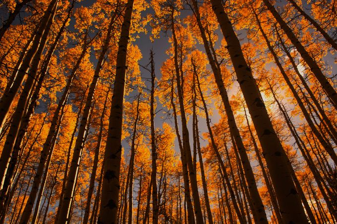 Colorado Aspens by ericakinsella - Silhouettes Of Trees Photo Contest