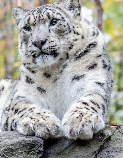 Snow Leopard with Front Paws