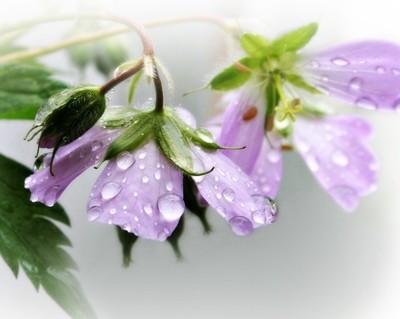 Wild Geranium On Rainy Day