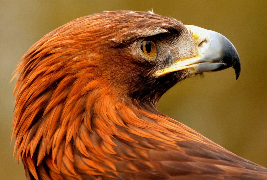 A portrait of the iconic Golden Eagle