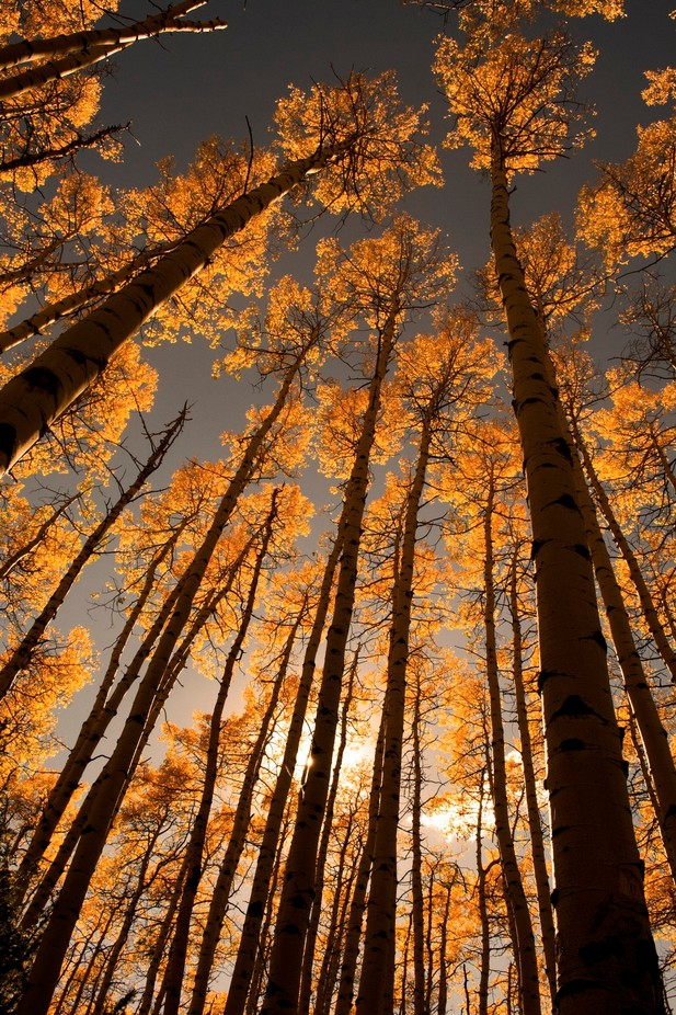 Aspens by ericakinsella - Fall 2017 Photo Contest