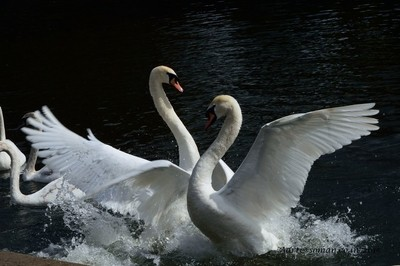 Swans fight ..