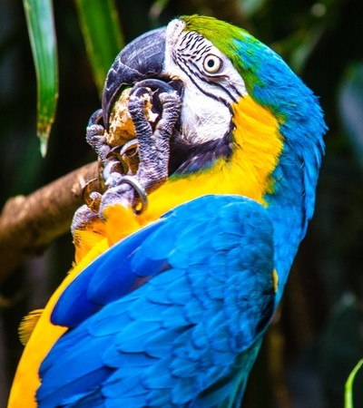 Macaw Hanging Upside Down