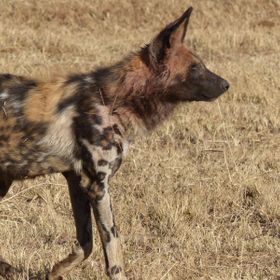 The endangered African wild dog or African painted dog. It is classed as endangered by the IUCN, as it has disappeared from much of its original ...