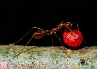 Philippine Weaver Ants or Green Ants (Genus Oecophylla) chocovoices2015