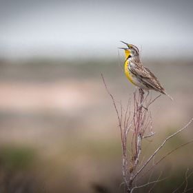 Meadowlark singing and making things brighter on a bleak overcast day at Bitter Lake National Wildlife Refuge.