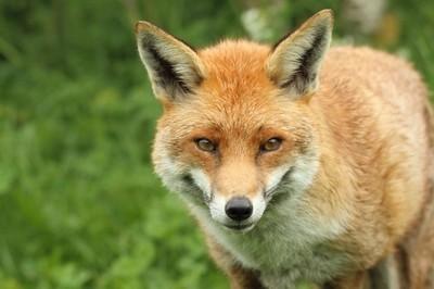 The Red Fox Stare