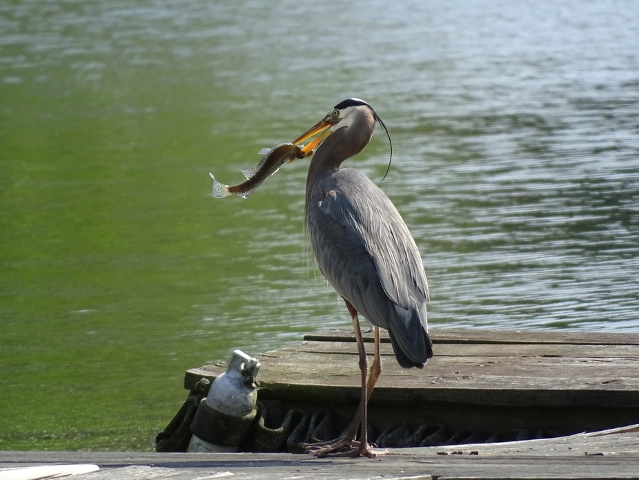Blue Heron Got a fish