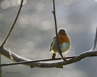 :) Robin