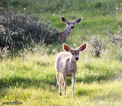 Mule deer Creede