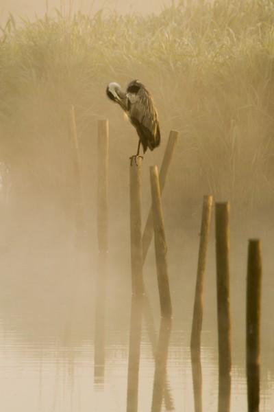 Heron in the morning sun