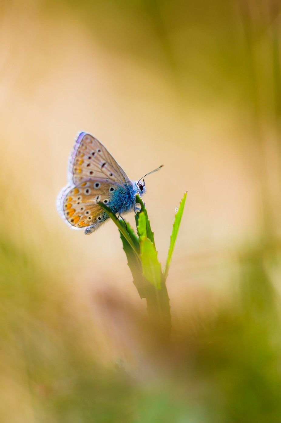 the dreamer by riankrenzer - Beautiful Butterflies Photo Contest