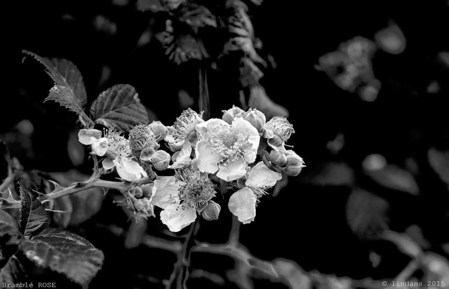 Bramble roses