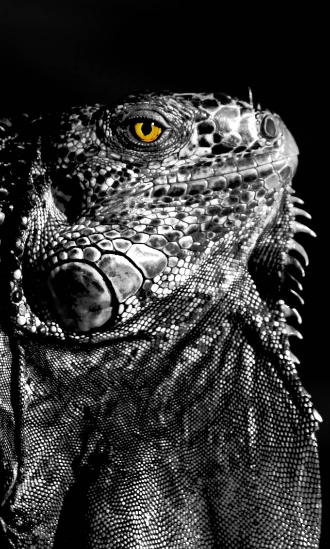 Originally a colorful image that I turned into a black and white photo and then added a colorful layer underneath and put a clipping mask on the black image to reveal the color from the iguanas eye.
