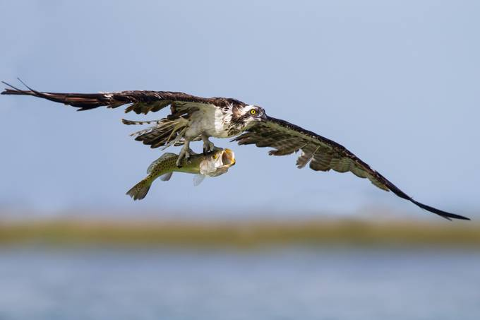 Osprey With Catch  by OutbackPhotoAdventures - Food Chain Struggles Photo Contest