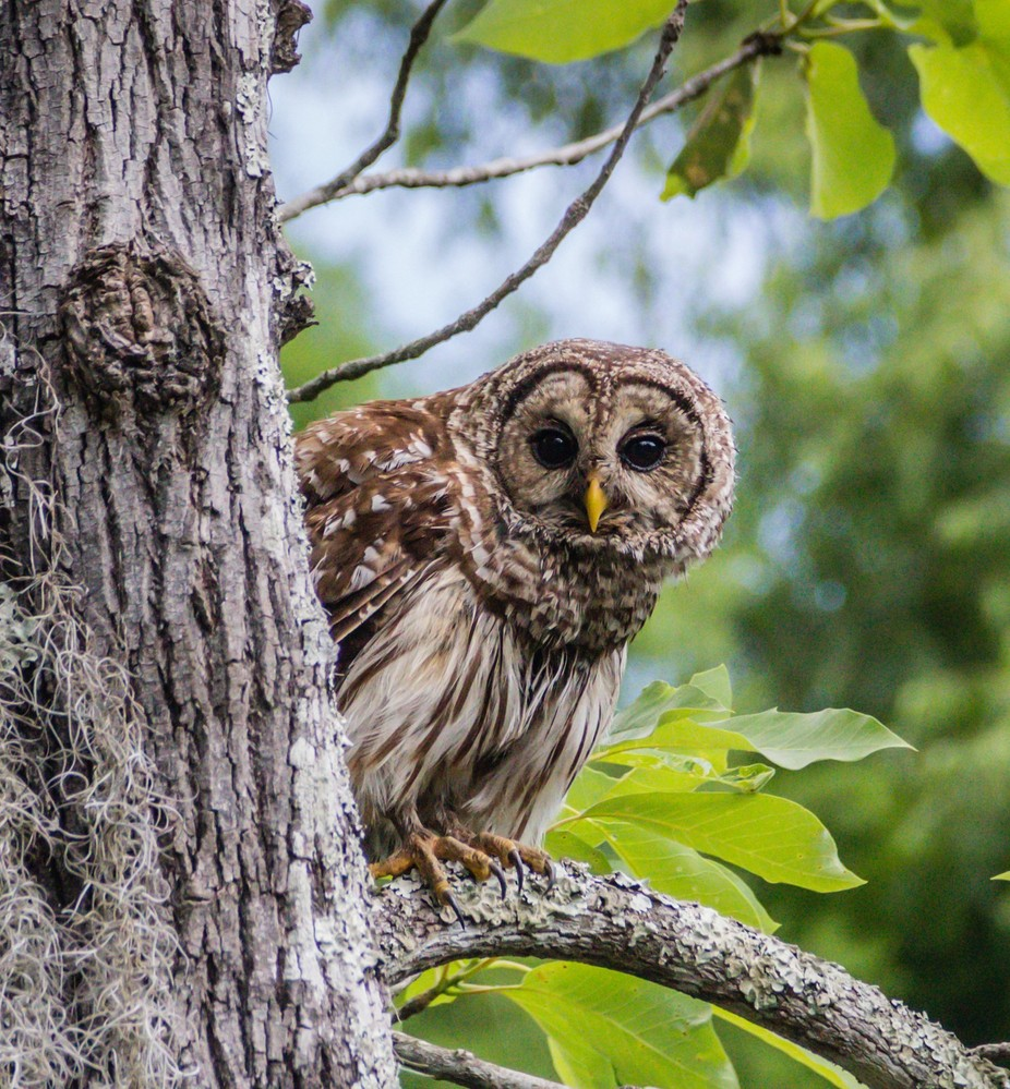 Peek-A-Boo by MaryAnn49 - Beautiful Owls Photo Contest