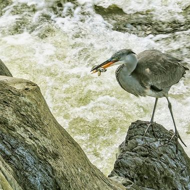 A heron successful after some time watching and waiting above the foaming white water at Betws y Coed, North Wales ..