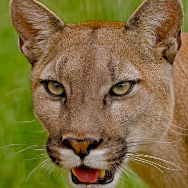 A portrait of the Cougar or Mountain Lion.