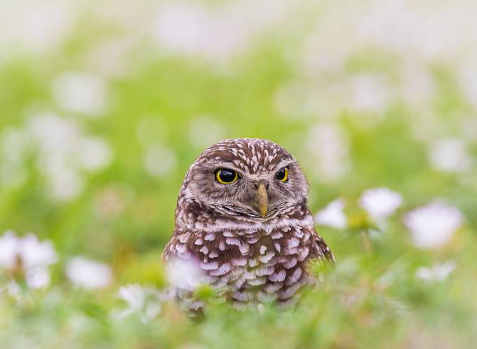 Burrowing Owl by antonyz - Depth In Nature Photo Contest